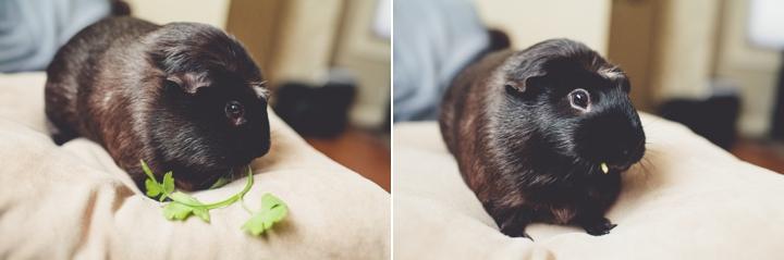 guinea-pig-photos