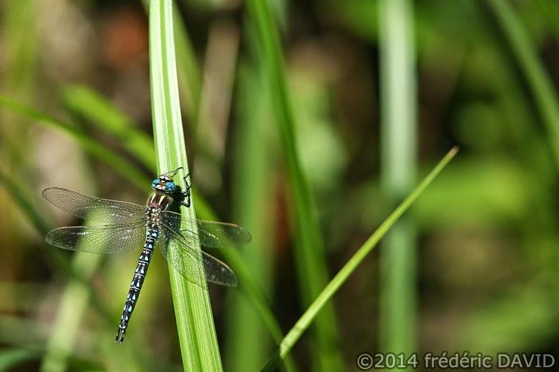 animaux insecte libellule aechne velue macro forêt Rougeau Seine-et-Marne