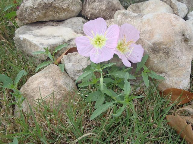 Pink Primrose weed http://muttnut.blogspot.com/