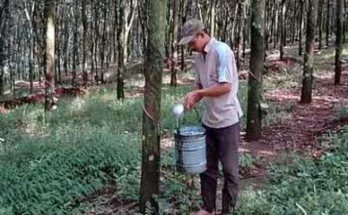 cara menanam merawat pohon karet