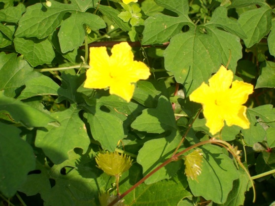 Cabin talk invasion of the body snatchers but mixed in with the grape vines is another type of vine that has pretty yellow flowers a very intense yellow color mightylinksfo Choice Image