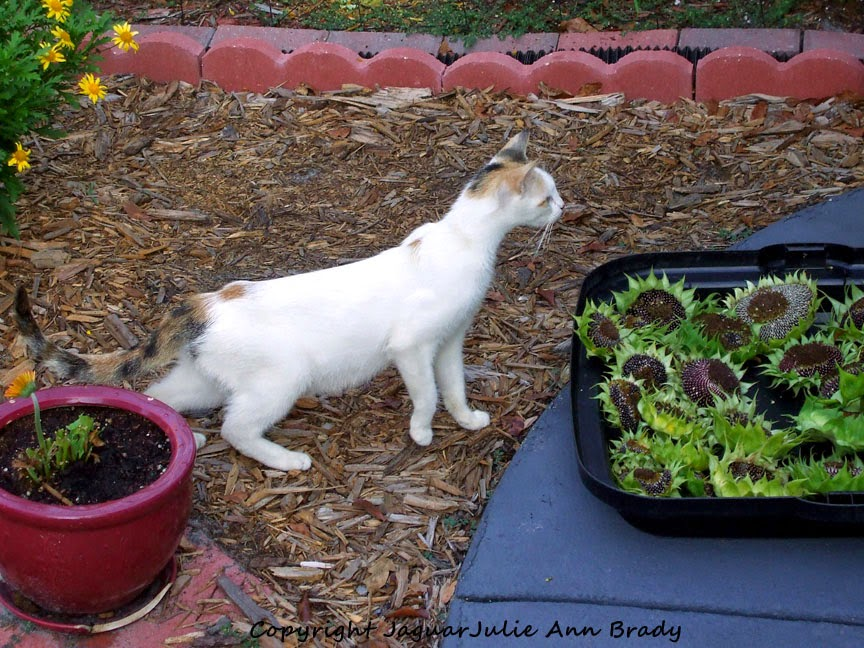 white mommy calico cat checking out sunflower heads