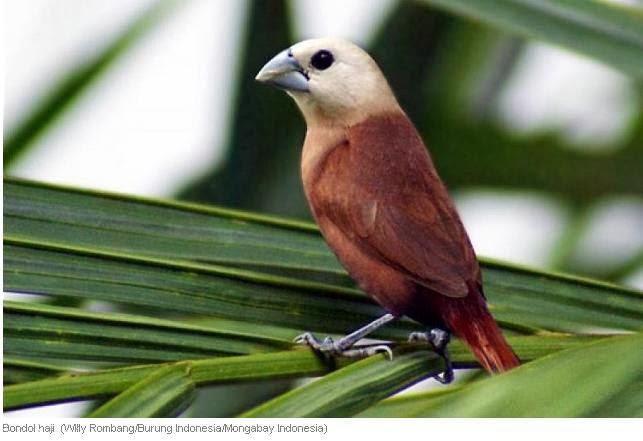 Mengenal Burung Emprit Haji atau Bondol Haji | Burung Gue