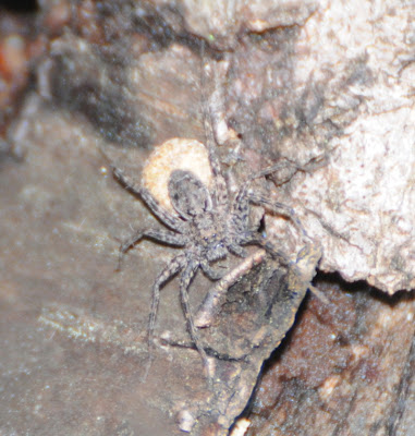 Dock Spider (Dolomedes tenebrosus)