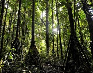 Wow! Pohon ini bisa Berjalan sejauh 20 Meter dalam Setahun
