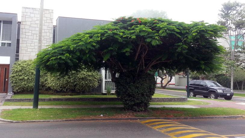 Enlimado La Ponciana El Arbol Urbano Perfecto - Arboles-que-dan-sombra