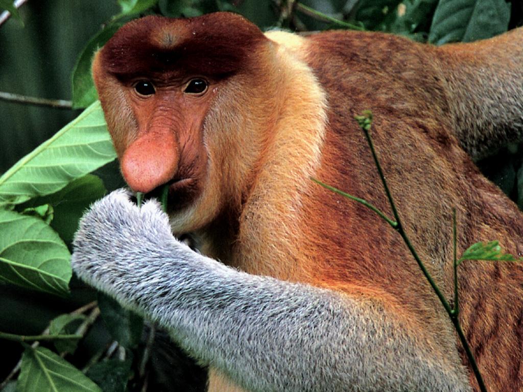Weird Animals - Proboscis Monkey