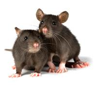 2 ekor tikus