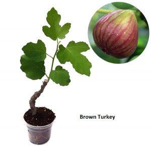 buah-tin-brown-turkey.jpg