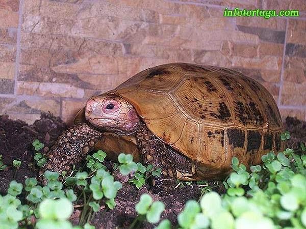 Indotestudo elongata en su terrario