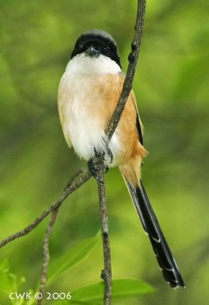 Gambar Cara Merawat Burung Cendet