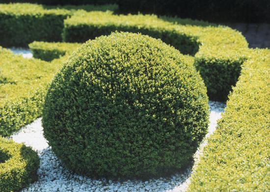 Il piccolo giardino di l ode al bosso for Bosso siepe