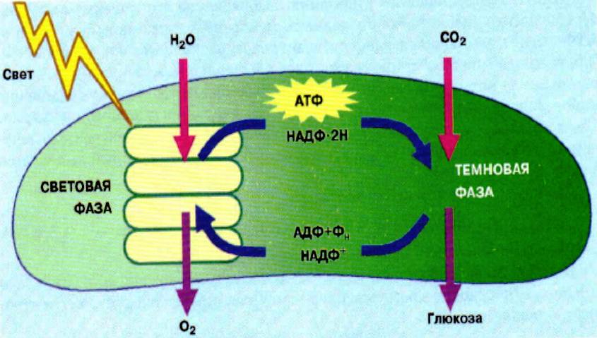 Изучите схему демонстрирующую процесс фотосинтеза протекающий в хлоропласте