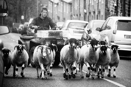 photography, black and white, sheep. Yorkshire, UK,