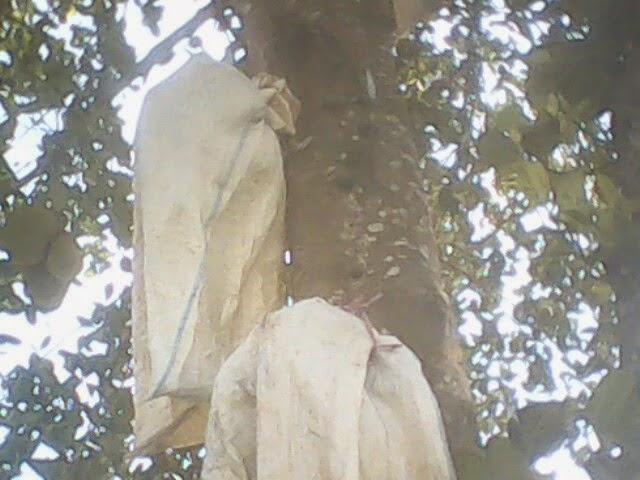 Cara Mengatasi Buah Nangka Yang Sering Busuk Di Pohon ...