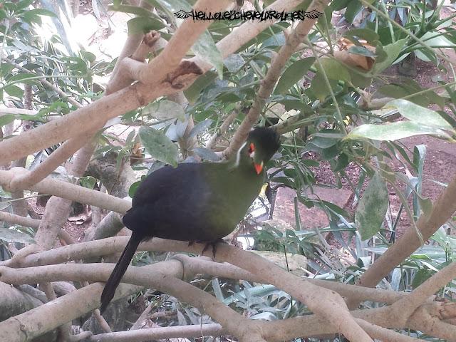 Oiseau vert bleu jaune dans la serre tropicale à Touroparc