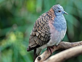 Foto Burung Perkutut Cara Merawat Perkutut Rajin Bunyi Gacor
