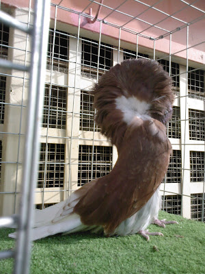 Pigeons for sale: Jacobin pigeon classic red color