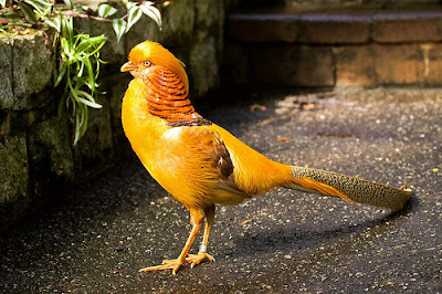 TheJungleStore.com Blog | Yellow Golden Pheasant