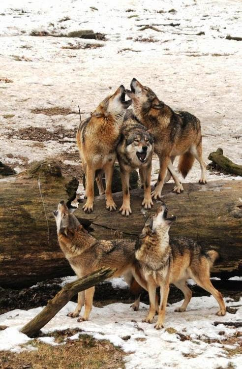 Wolf Pack in Snow