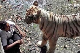 White tiger in Delhi zoo mauls man to death