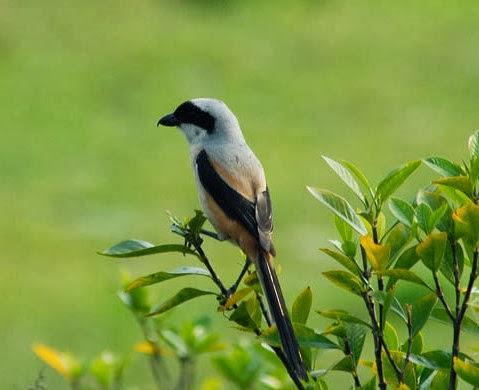 Burung Pentet - Burung Berkicau