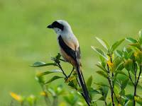 Daftar Harga Burung Berkicau di Pasaran 2014 Terbaru