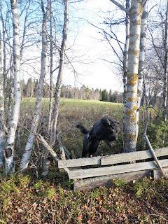 hund hoppar över staket