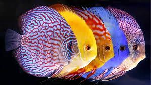 Jenis Ikan Hias Air Tawar Paling Populer Beserta Gambar