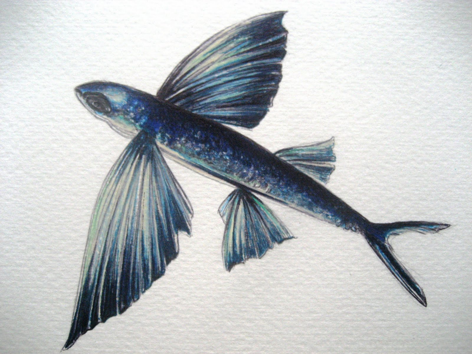 april 11 2011 flying fish a drawing a day for a year