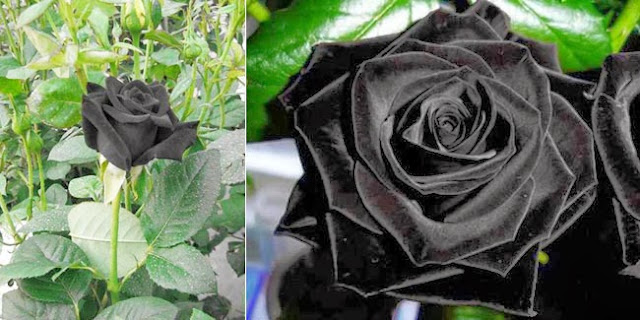 Mawar Hitam Ternyata Ada