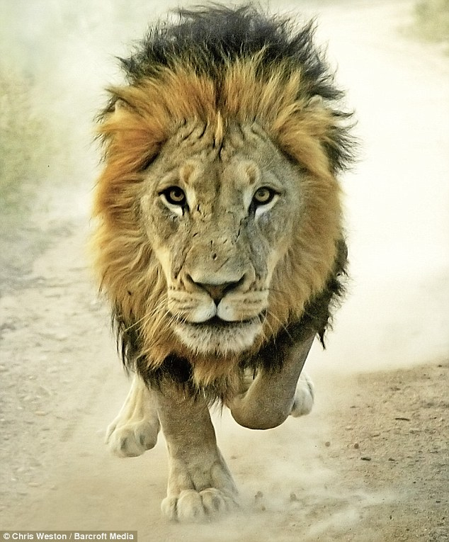 Singa berdepan dengan kamera