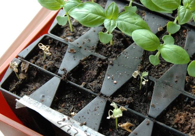 Skrumpna grönkålsgrodblad och friska basilikaplantor.