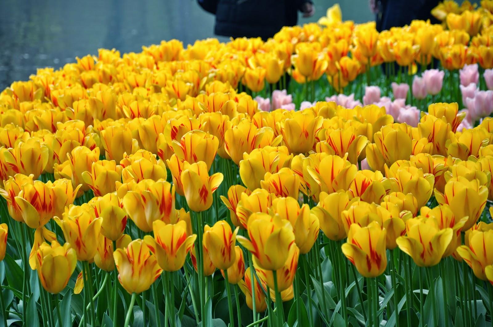 тюльпаны амстердам