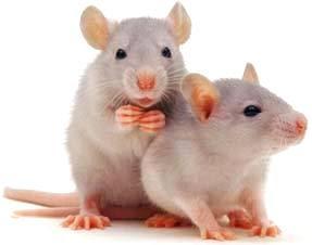 Ratas blancas