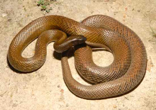 Fierce Snake or Inland Taipan