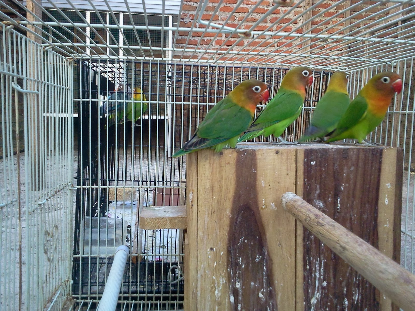 JUAL LOVE BIRD | HARGA LOVE BIRD | BURUNG LOVE BIRD