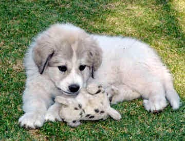 See more Great Pyrenees Puppy.http://cutepuppyanddog.blogspot.com/
