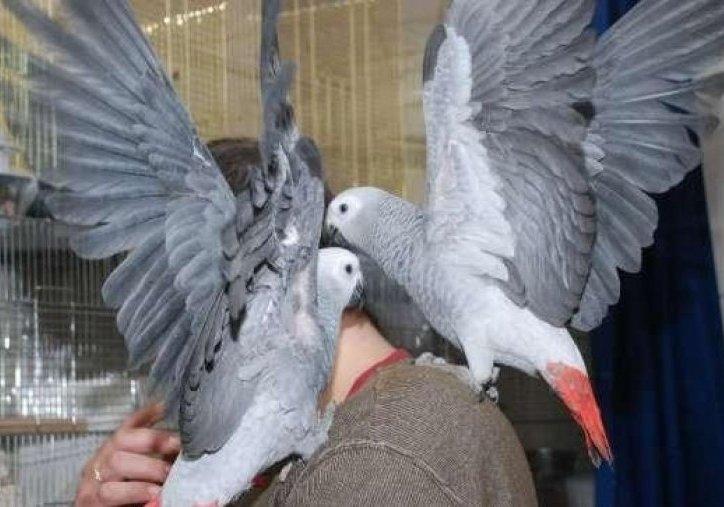 Попугай жако сколько живут в домашних условиях