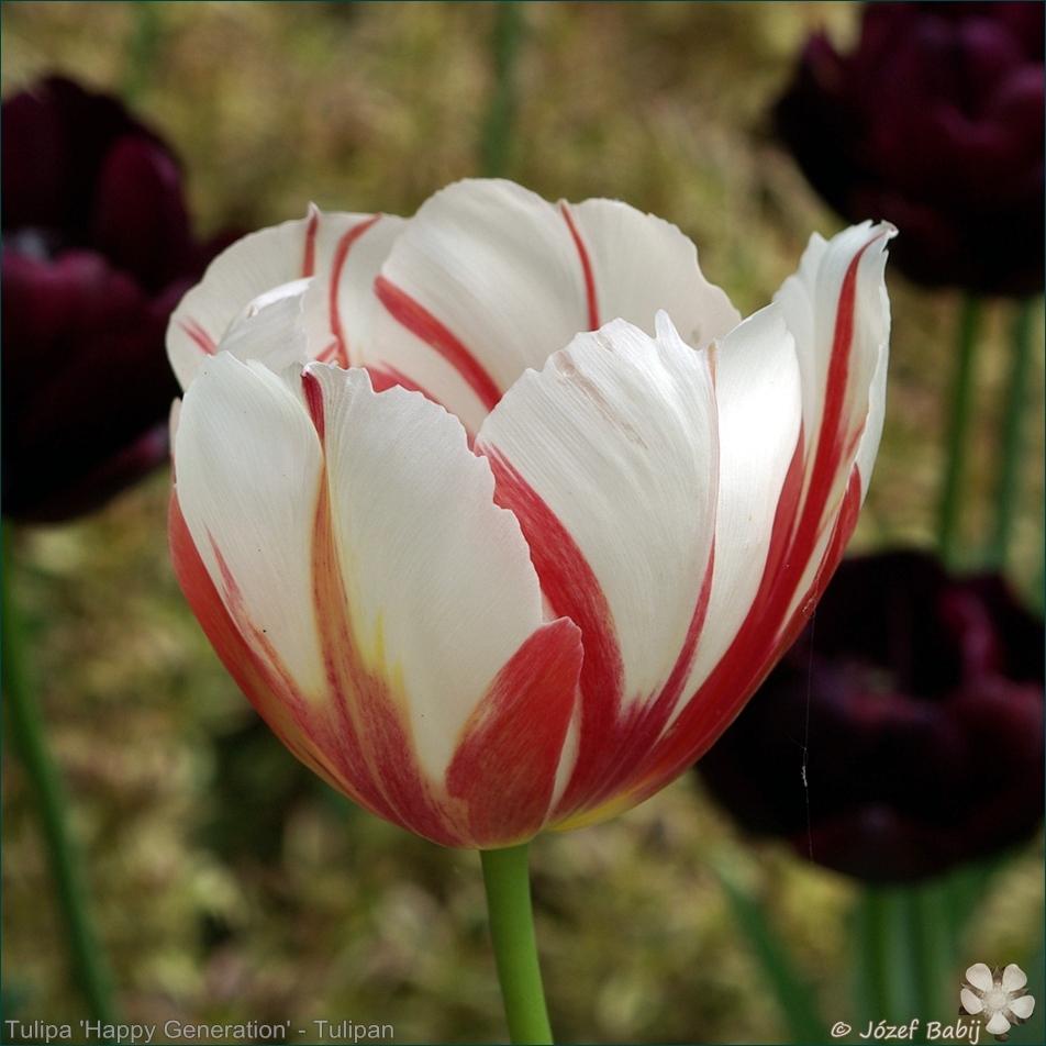 Tulipa 'Happy Generation' - Tulipan 'Happy Generation'