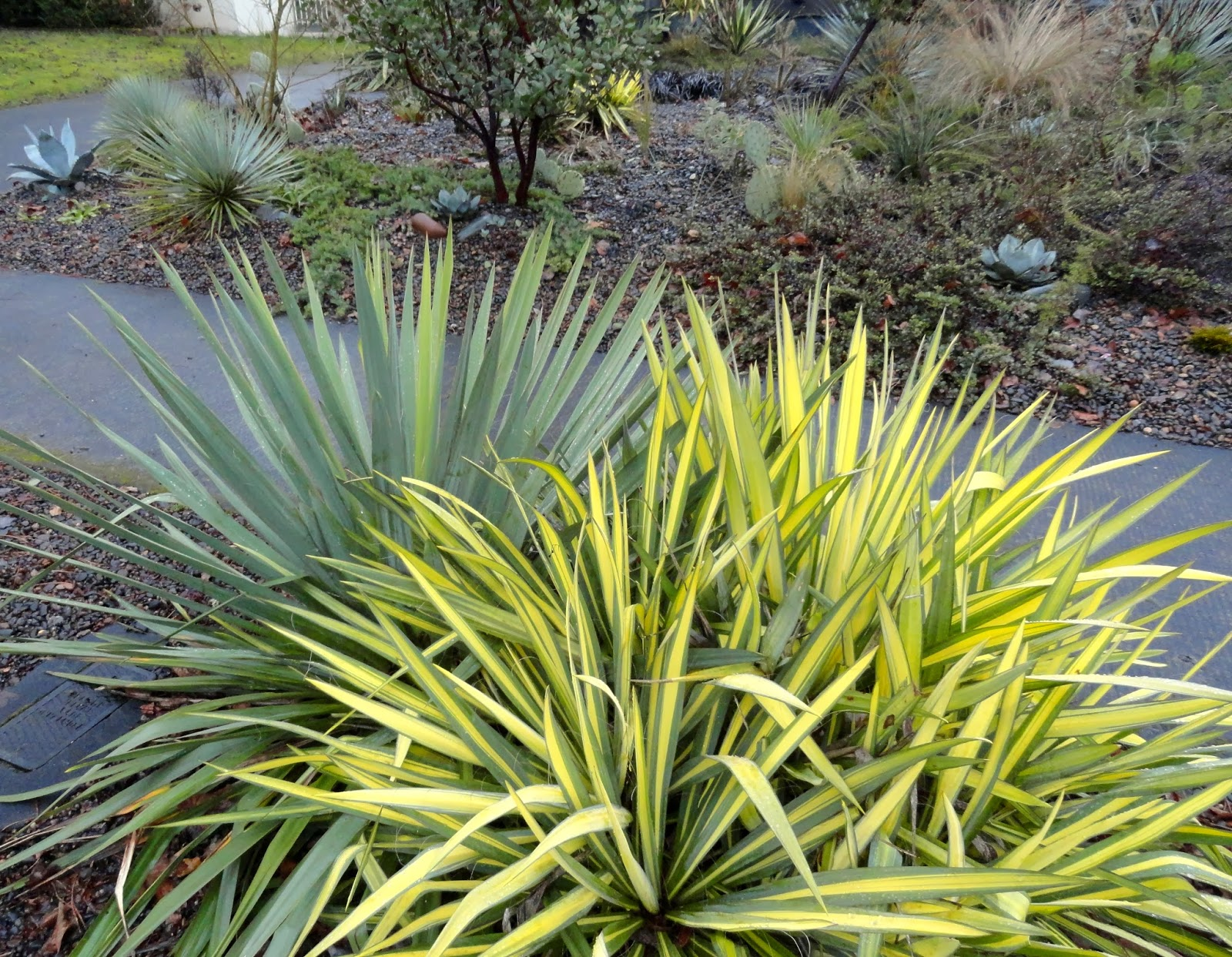 danger garden yucca filamentosa 39 color guard 39 is my favorite plant in the garden this week. Black Bedroom Furniture Sets. Home Design Ideas