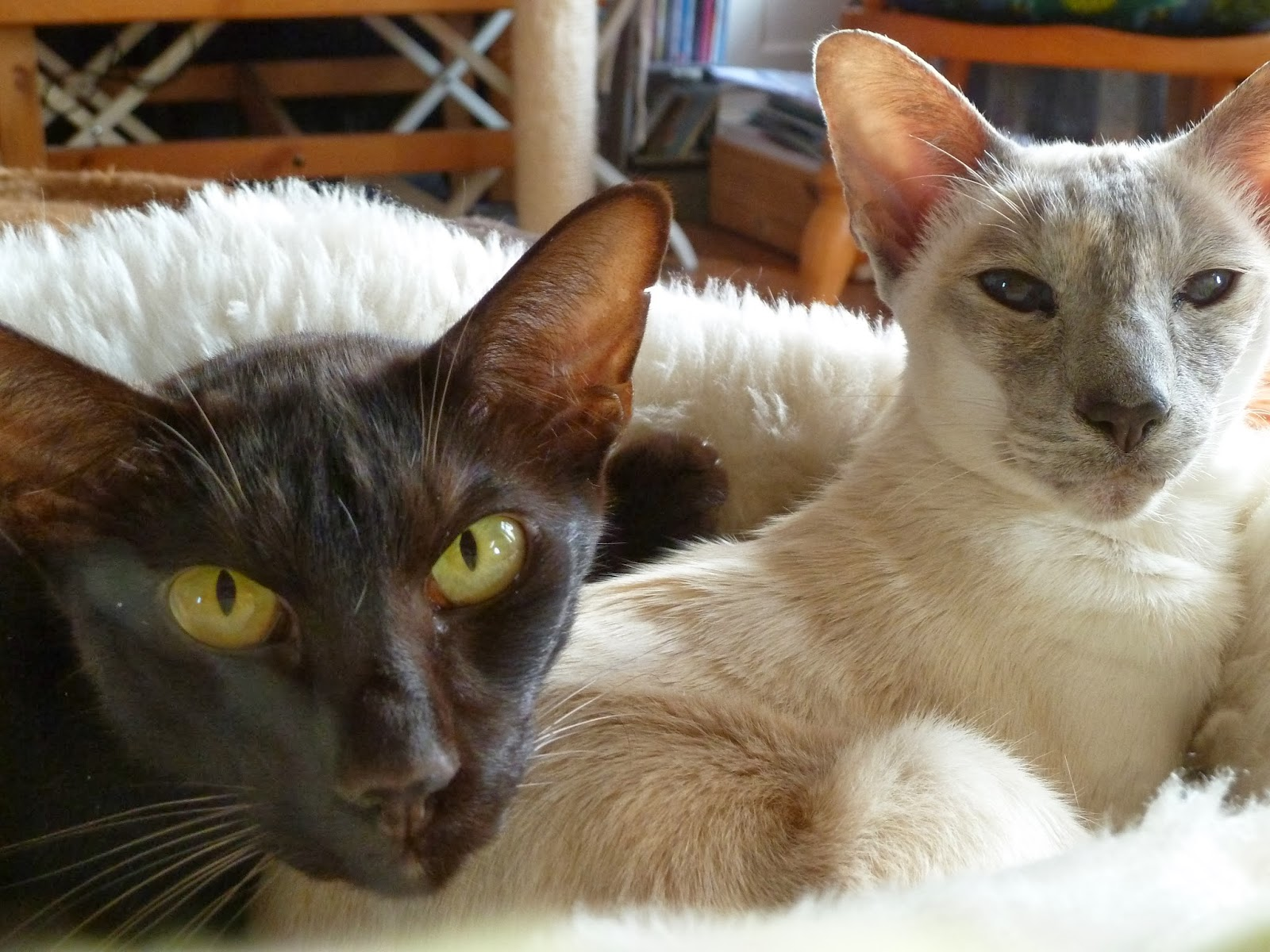 Siamese and Oriental Short Hair cats