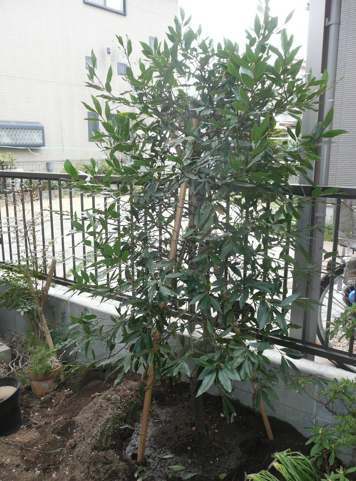 月桂樹を移植しました。移植した月桂樹が目隠しにもなって、この辺りは以前... 月桂樹の移植とシャ
