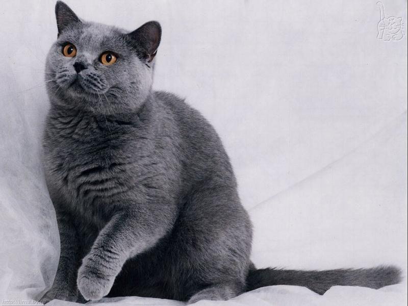 Русская голубая кошка 1