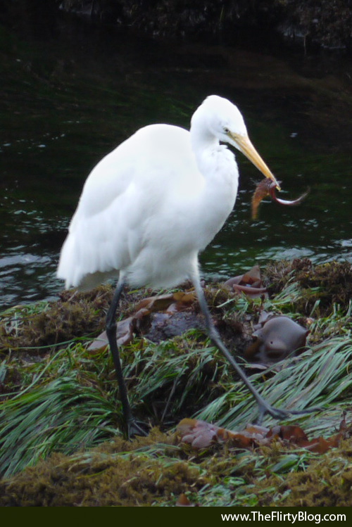 White Heron, Gunnel Fish
