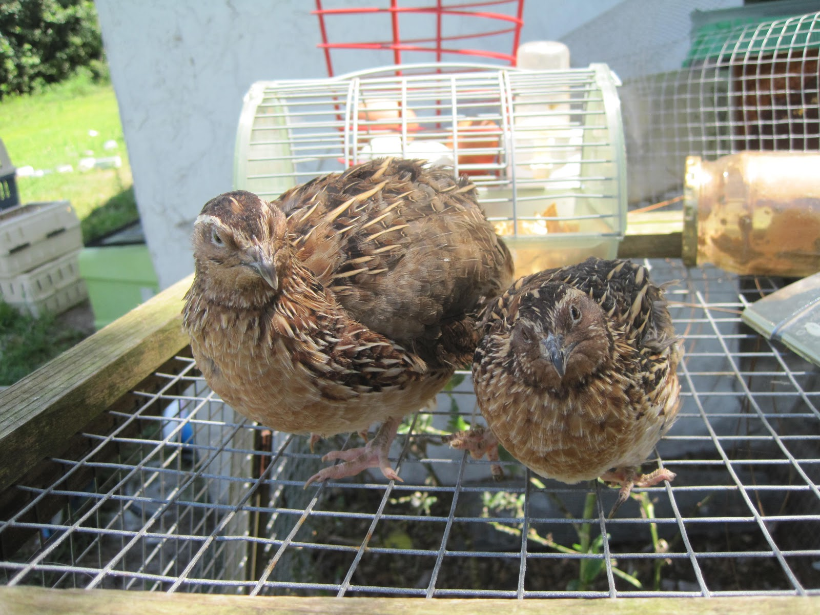 Jumbo coturnix quail - photo#19