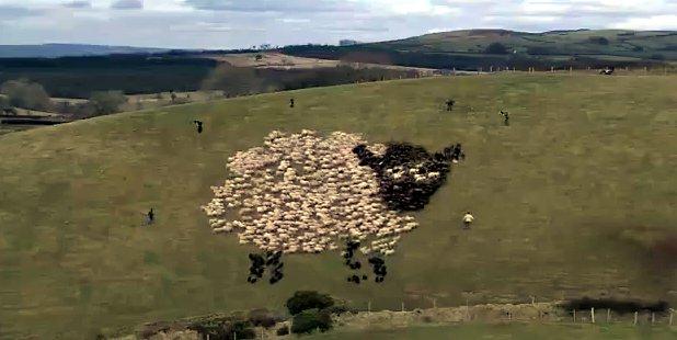 """me: 羊が描く""""羊の巨大絵 ... : 羊 絵 : すべての講義"""
