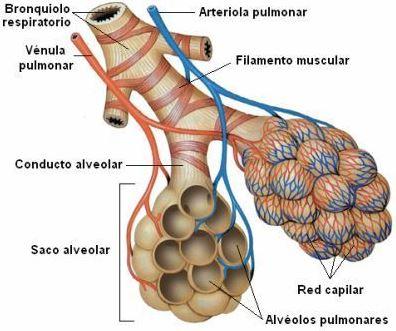 Aparato Respiratorio 3A: Conducto Alveolar y Alvéolo.