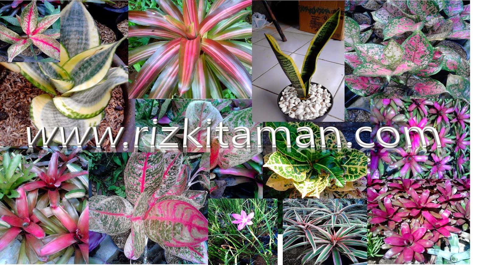 Jual tanaman indoor | aglaoenema, bromelia, puring, sansevireia goldn hahni, lidah mertua, suplier tanaman hias