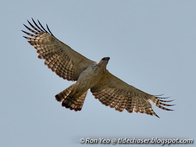 Changeable Hawk Eagle (Spizaetus cirrhatus)